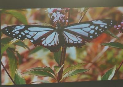 旅する蝶アサギマダラ2.jpg