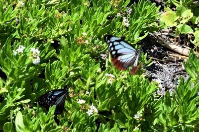 旅する蝶アサギマダラ3.JPG