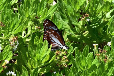 旅する蝶アサギマダラ4.JPG