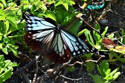 旅する蝶アサギマダラ5.JPG
