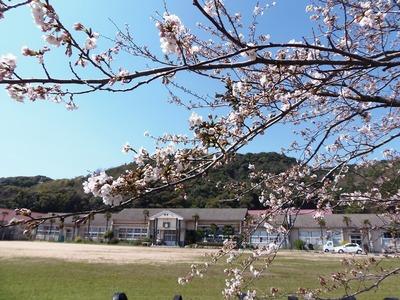 旧青海島小学校の桜1.jpg