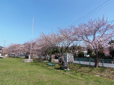 旧青海島小学校の桜2.jpg