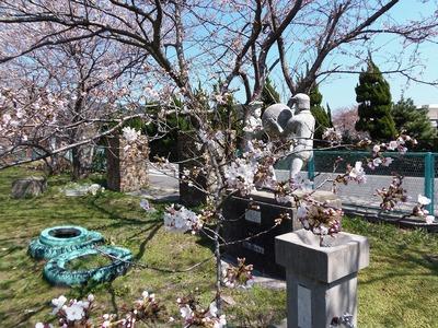 旧青海島小学校の桜3.jpg