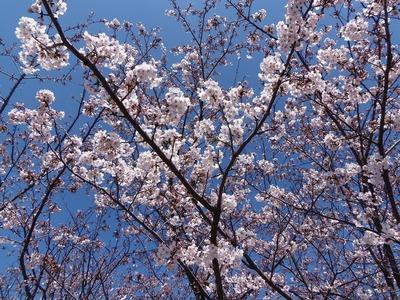 旧青海島小学校の桜4.jpg