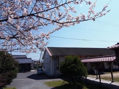 旧青海島小学校の桜5.jpg