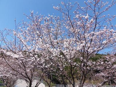 旧青海島小学校の桜7.jpg