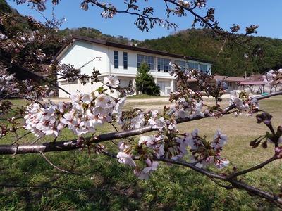 旧青海島小学校の桜8.jpg