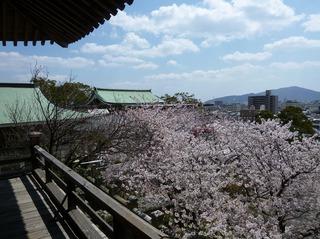 春風楼からの桜.jpg