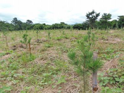 松の植樹2.jpg