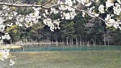桜と水没林1.jpg