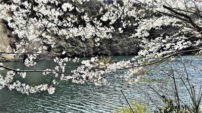 桜と蒼霧鯉池1.jpg