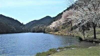 桜と蒼霧鯉池2.jpg