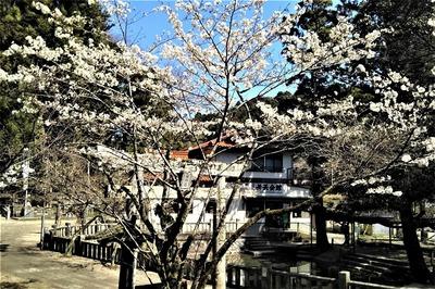 桜と鳥居2.jpg