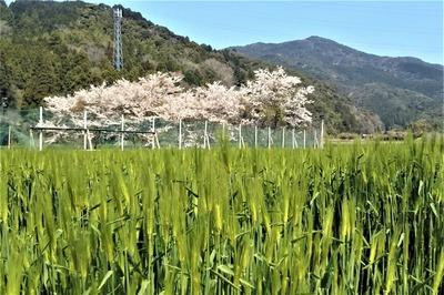 桜と麦畑1.jpg