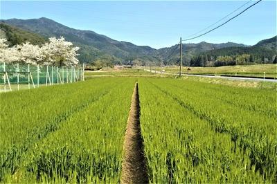 桜と麦畑2.jpg