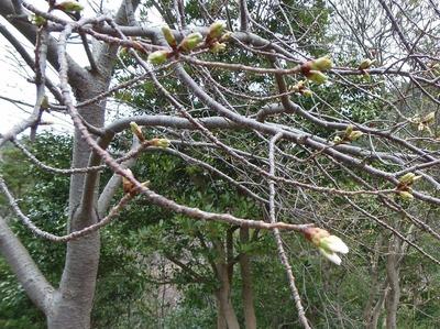 桜のつぼみ1.jpg