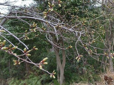 桜のつぼみ2.jpg