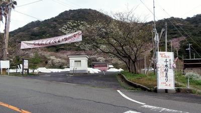 桜まつり会場2.jpg