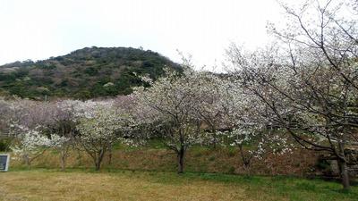 桜まつり会場4.jpg