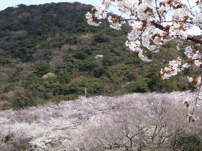 桜花爛漫1.jpg