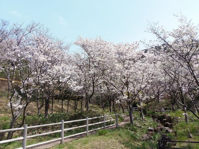桜花爛漫2.jpg