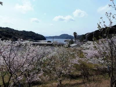 桜花爛漫3.jpg
