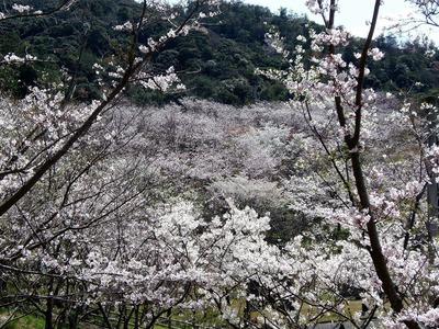 桜花爛漫5.jpg