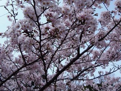 桜花爛漫6.jpg