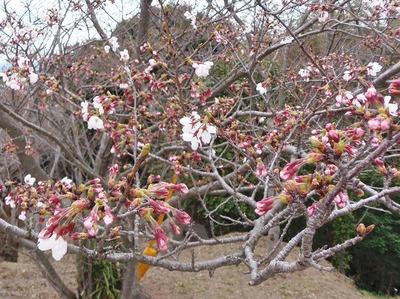 桜開花1.jpg