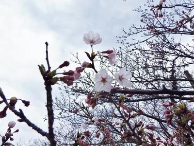 桜開花2.jpg