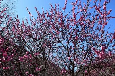 梅の花3.jpg