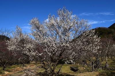 梅の花4.jpg