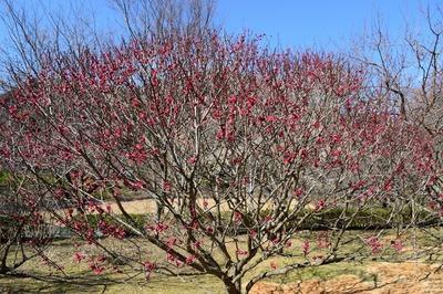 梅の花5.jpg