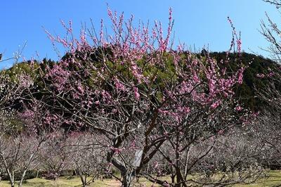 梅の花6.jpg
