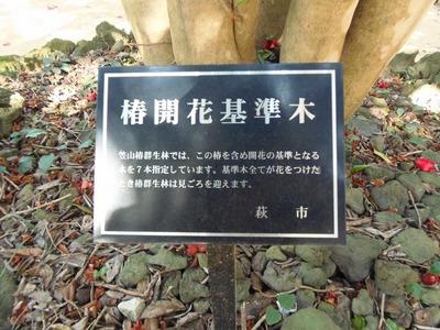 椿開花基準木1.jpg