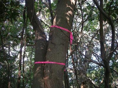 標準木.jpg