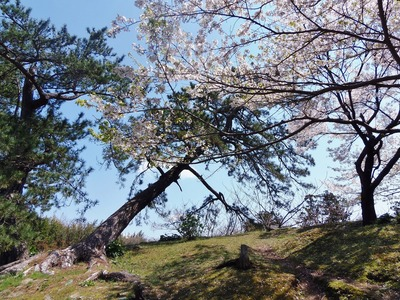 横になった松と桜.jpg