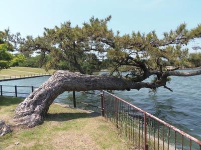 横松と湖1.jpg