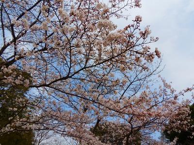毛利輝元公像近くの桜.jpg