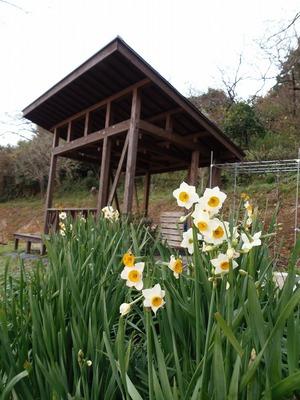 水仙の花1.jpg