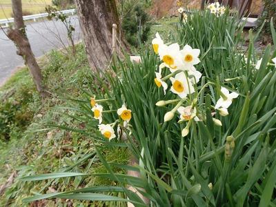 水仙の花2.jpg