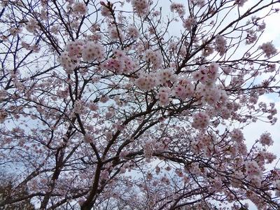 江汐公園の桜1.jpg