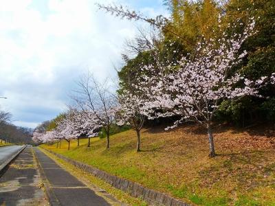 江汐公園入口の桜.jpg