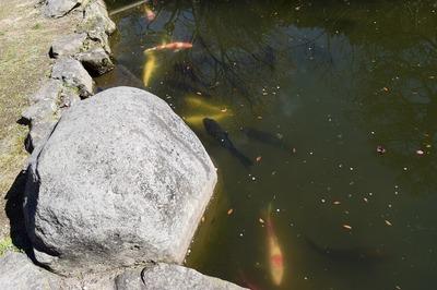 池の鯉.jpg