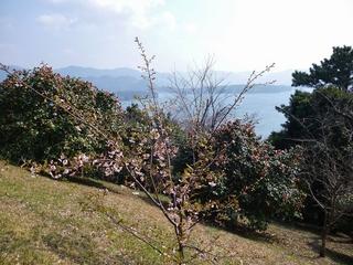 河津桜と椿のコラボ.jpg