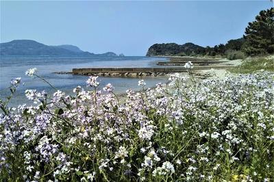 波の橋立と大根の花.jpg