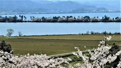 波の橋立と満開の桜.jpg