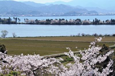 波の橋立と見ごろの桜1.jpg