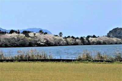 波の橋立と見ごろの桜2.jpg
