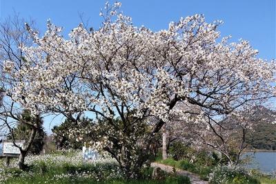 波の橋立と見ごろの桜3.jpg
